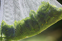 Maiwipfel, Ernte, ernten, Maiwipfel-Ernte, Maiwipferl, Fichtensprosse, Fichtenspitzen, Fichtensprossen, Fichte, Fichten, Gewöhnliche Fichte, Rot-Fichte, Rotfichte, Picea abies, Spruce, Common Spruce, Norway spruce, L'Épicéa, Épicéa commun