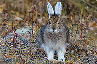 Snowshoe Hare or Varying Hare(Lepus americanus).  Yukon Territory, Fall.  Hare is changing color from summer browns and grays to winter white.
