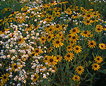Green River Conservation Area, IL: Black-Eyed Susans (Rudbeckia hirta) and Common Fleabane (Erigeron philadelphicus) in native prairie
