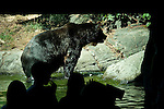 Brown bear standing in small pool behind glass at the the Woodland aprk Zoo, Seattle Washington State USA