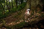 Eurasian Jay (Garrulus glandarius) in deciduous forest, Wytham Woods, England, United Kingdom
