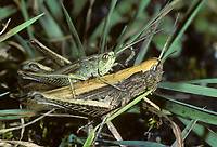 Wiesengrashüpfer, Wiesen-Grashüpfer, Feldheuschrecke, Paarung, Kopulation, Kopula, Chorthippus dorsatus, Steppe Grasshopper, pairing, Criquet verte-échine