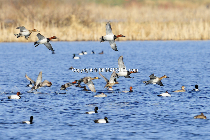 00290-007.05 Canvasback Duck flock is about to land with other waterfowl species.  Hunt, wetlands, divers.