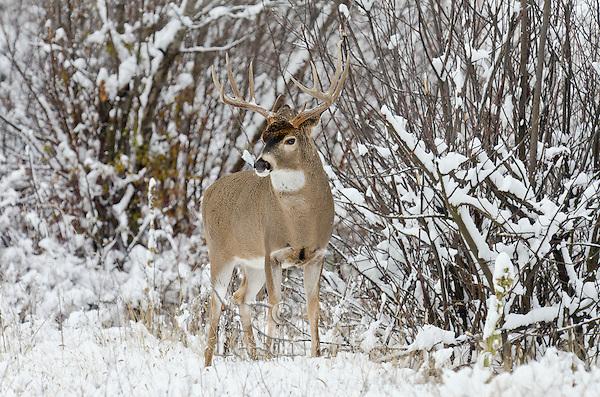 White-tailed Deer buck (Odocoileus virginianus) in November snow, Western U.S., Late Fall.