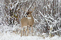White-tailed Deer buck (Odocoileus virginianus) in November snow, Western U.S., Late Fall.