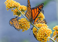 Western Monarch Butterflies (Danaus plexippus).  OR.  Summer.