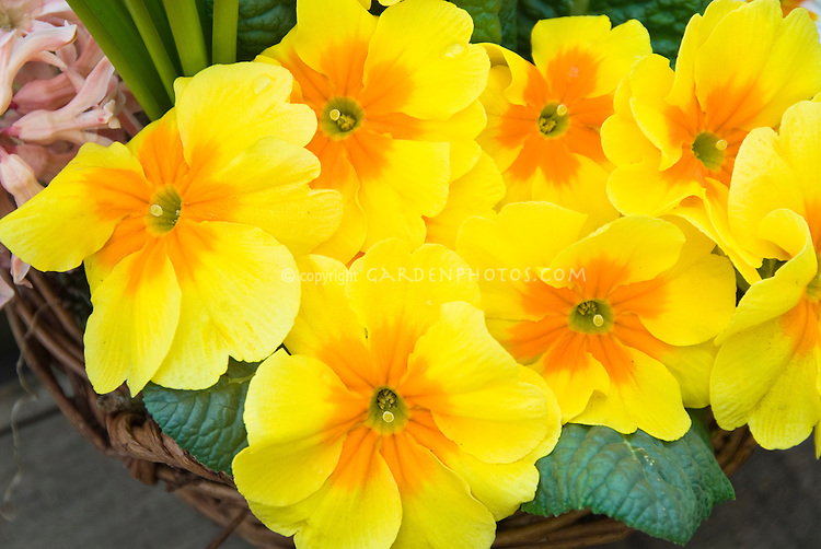Primula yellow gold orange vulgaris pin flower