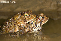 0304-0903  Pair of Toads in Amplexus (Pseudocopulation), Pair of American Toads (Male Tightly Grasping Female) Mating in Temporary Ephemeral Pool of Water,  © David Kuhn/Dwight Kuhn Photography, Anaxyrus americanus, formerly Bufo americanus