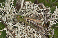 Nachtigall Grashüpfer, Nachtigall-Grashüpfer, Weibchen, Chorthippus biguttulus, Stauroderus biguttulus, Chorthippus variabilis, bow-winged grasshopper