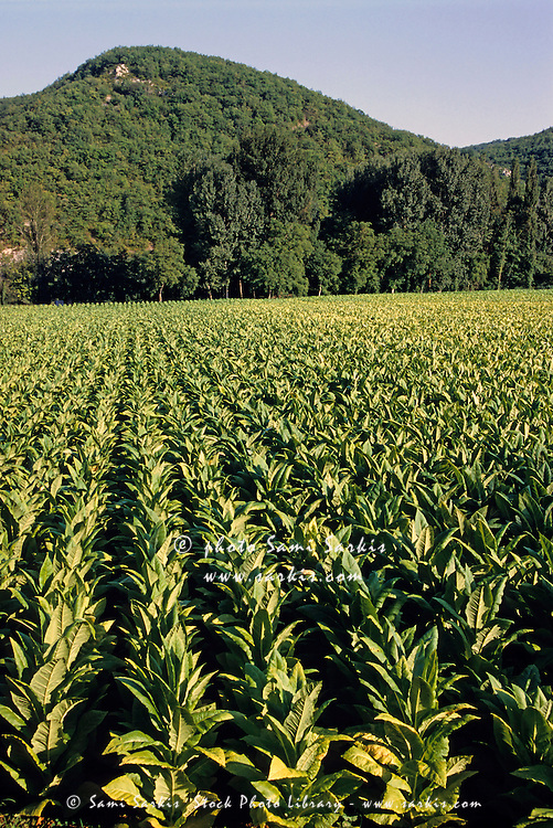Tobacco field beneath mountain, Lot Valley, Cahors, France.