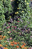 Old-fashioned and heirloom flowering plants: Thunbergia alata 'Sunny Yellow Star' in border with orange Zinnia, purple Perilla, etc.