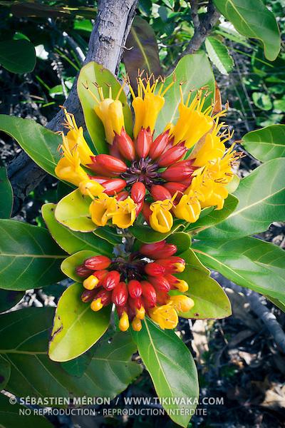 Deplanchea speciosa, espèce endémique à la Nouvelle-Calédonie, sa floraison est très spectaculaire, largement répandue sur la Grande Terre