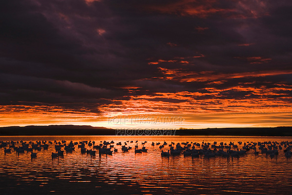 Snow Goose (Chen caerulescens), flock at sunrise, Bosque del Apache National Wildlife Refuge , New Mexico, USA,