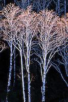 Red alder in Tillamook State Forest in Tillamook County, Oregon