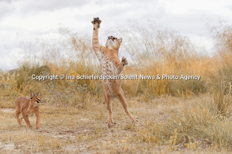 A wild cat looks surprised as it holds its paws up while leaping in the air.  The 15-month-old male caracal is trying to catch small birds while its female sibling watches on.<br /> <br /> Typically nocturnal, the caracal is usually highly secretive and difficult to observe.  The endearing images were captured by amateur photographer Ina Schieferdecker in the grounds of a private finca near Toledo, Spain.  SEE OUR COPY FOR DETAILS.<br /> <br /> Please byline: Ina Schieferdecker/Solent News<br /> <br /> © Ina Schieferdecker/Solent News & Photo Agency<br /> UK +44 (0) 2380 458800