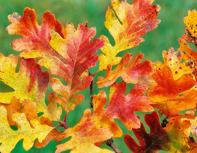 Fall colored Oregon White Oak leaves. Near Alpine, Oregon