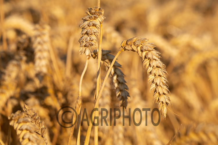 Winter wheat ready for harvest <br /> ©Tim Scrivener Photographer 07850 303986<br />      ....Covering Agriculture In The UK....