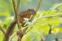 Red-tailed Squirrel, Sciurus granatensis.  Tandayapa Valley, Ecuador