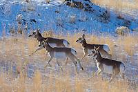 Pronghorn Antelope (Antilocapra americana) on grasslands along northern boundry of Yellowstone National Park, Montana.  December.