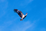 White bellied sea eagle, Haliaeetus leucogaster, soaring above Komodo National Park, Indonesia