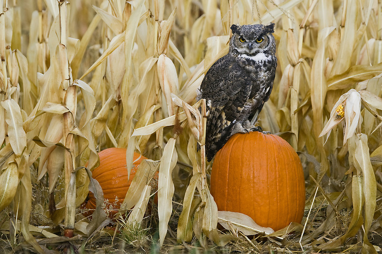 Great-horned Owl perched on a pumpkin at the edge of a corn field