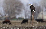 A bald eagle seen on a Minden, Nev. ranch on Sunday, March 13, 2011..Photo by Cathleen Allison