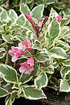 MY MONET WEIGELA HYBRID