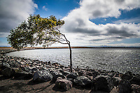 Which way does the wind blow?  A tree along the rocky shore at San Leandro's Marina Park along San Francisco Bay.