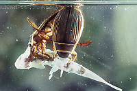 Gelbrandkäfer, Gelbrand-Käfer, Gelbrand, fressen an Fisch, Beute, Dytiscus marginalis, great diving beetle, Schwimmkäfer, Dytiscidae