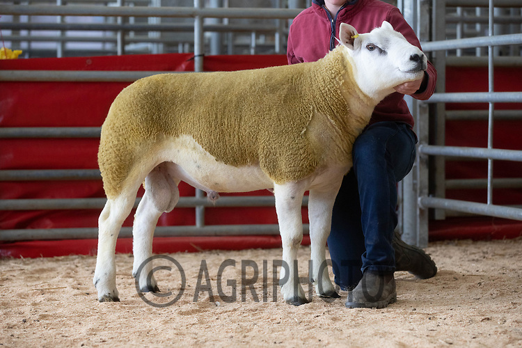 29.8.2020 The Welsh National Sale of Texel sheep, Welshpool Livestock Market <br /> Lot 77 Llwyngan Commander owned by Elgan Davis sold for 1400 gns<br /> ©Tim Scrivener Photographer 07850 303986<br />      ....Covering Agriculture In The UK.