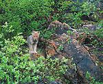 Arctic Wolf, Artillery Lake, Northwest Territories, Canada