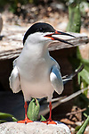 Roseate tern standing next to nesting box on Bird Island, Marion, Massaachusetts, vertical.