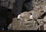 Common Murre, Thin-billed Murre, Common Guillemot, Duck Island, Puffin Island, Tuxedni Bay, Cook Inlet, Alaska