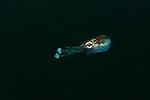 Bobtail Squid (Euprymna sp.) North Raja Ampat, West Papua, Indonesia