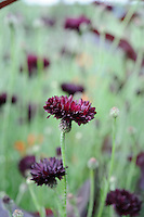 Pictorial Meadow - Volcanic Mix - Cornflower and Red Orache.