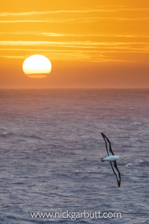 Black-browed albatross (Thalassarche melanophris) in flight at sunrise. South Atlantic Ocean between The Falklands and South Georgia.