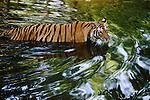 Bandhavgarh National Park, India; Tigress Wading Across Creek in India