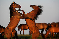 """Stallions fiercely battle for dominance and mares. These fighting studs are part of the Gila herd that genetic testing shows descend from horses brought by the Spanish Conquistadors. <br /> <br /> The Gilas are mostly dun colored with a black dorsal stripe, black main and tail, and many have primitive dark zebra stripes on their legs.<br /> <br /> The Gila herd was wily and hid in the salt cedars to escape capture for at least 100 years.  Then in 1996, 75 of the horses were gathered with plans to sell them at auction (for consumption in Europe), but ISPMB stepped in and rescued the entire herd.<br /> <br /> The herd was rescued by Karen Sussman of the International Society for the Protection of Mustangs and Burros.  The first president of that organization was Velma Johnston, """"Wild Horse Annie,"""" who is responsible for 1971 legislation that first protected wild horses and burros."""