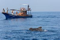 Whale watching boat stop to watch short-finned pilot whale, Globicephala macrorhynchus,  surfacing. Out of Mirissa, Sri Lanka, Indian Ocean