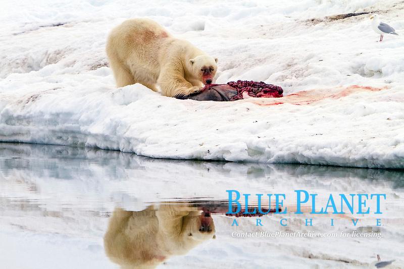 A well-scarred old male polar bear, Ursus maritimus, on a fresh bearded seal kill near Monacobreen Glacier, Spitsbergen in the Svalbard Archipelago, Norway, Atlantic Ocean, polar bear, Ursus maritimus