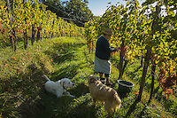 Europe, France, Aquitaine, Pyrénées-Atlantiques, Béarn, Jurançon: Domaine  Larredya, Vendanges  manuelles, la mère de Jean Marc Grussaute  // Europe, France, Aquitaine, Pyrenees Atlantiques, Bearn, Jurançon: Camin Larredya domain, Manual harvest,  Jean Marc Grussaute mother