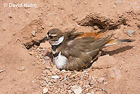 0510-1124  Killdeer, Adult Sitting on Eggs, Charadrius vociferus  © David Kuhn/Dwight Kuhn Photography