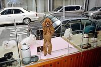 "Korea. South Korea. Seoul. Beauty pet shop ""Lonely house"".  Pedigree dog. Dogs for sale. Dog  is perceived as friendly companionship.  © 2002 Didier Ruef"