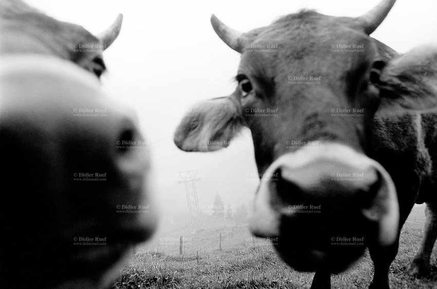 Switzerland. Canton Nidwald. Oberalp. 1500 meters high. Engelberg valley. Cows mouths and horns. The only access to the farm is a private cable car. Swiss alpine farmers. Alps mountains peasants. © 1996 Didier Ruef