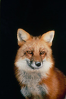 Red fox (vulpes fulva) with snowy nose and full winter coat at night, midwest USA