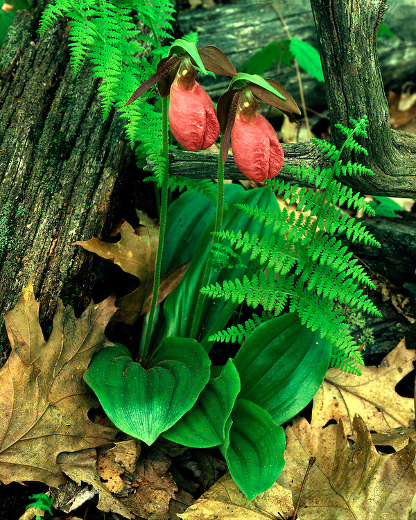 Pink Lady's Slipper (Cypripedium acaule) in bloom; Shenandoah National Park, VA