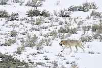 Wild Yellowstone Gray Wolf (Canis lupus) carrying piece of elk hide.  Yellowstone National Park, late winter.