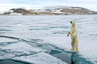 Polar bear using his height as a vantage point in the vastness of the arctic ice of Spitsbergen's Archipelago.