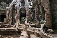 Silk cotton or kapok tree roots (Ceiba Pentandra) invade the Khmer ruins of Ta Prohm, built by Jayavarman VII, part of Angkor Wat - Siem Reap, Cambodia....