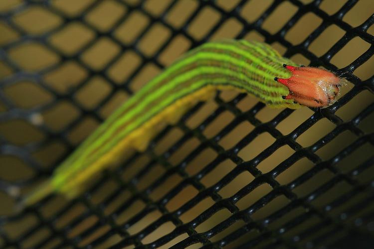 Lagartas.<br /> Foto Carlos Borges<br /> Ananindeua, Pará, Brasil.